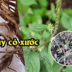 cây cỏ xước trị viêm khớp dạng thấp
